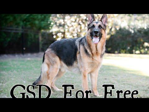 Free Free Free !!!  German Shepherd Dog For Free @Dogs Lover