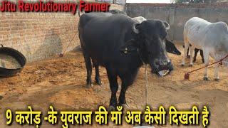 👍मुर्रा और देसी गौवंश के उभरते हुए Breeder कृष्ण चौहान Sir @Rewari.👍