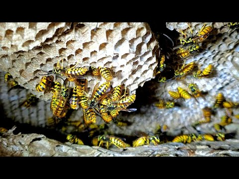 Yellow Jackets Nest INSIDE WALL of house | INFESTATION | Wasp Nest Removal from YouTube · Duration:  14 minutes 58 seconds