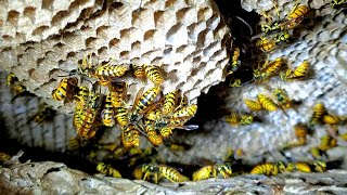 yellow-jackets-nest-inside-wall-of-house-infestation-wasp-nest-removal