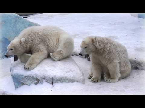 Вопрос: Почему у белого медведя лапы на льду не разъезжаются?