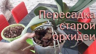 Пересадка старого куста орхидей
