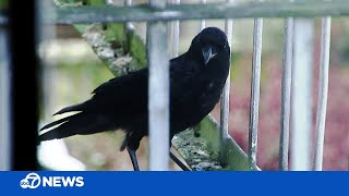 Why Crows Are Leaving Gifts For A Woman In San Francisco