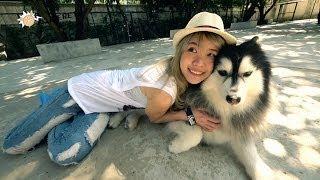 Siberian Husky (true Love Cafe)