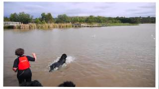 My Newfoundland Dog: Honeybun Water Rescue Training 28.04.2013
