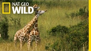 A Neck And Neck Battle | Giraffe: African Giant