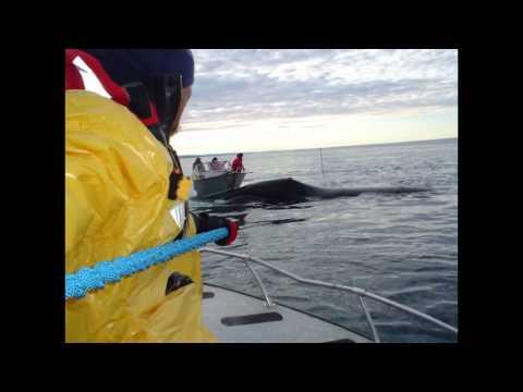Iqaluit Bowhead Hunt 2011