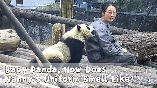 Baby Panda, How Does Nanny's Uniform Smell Like?  | iPanda