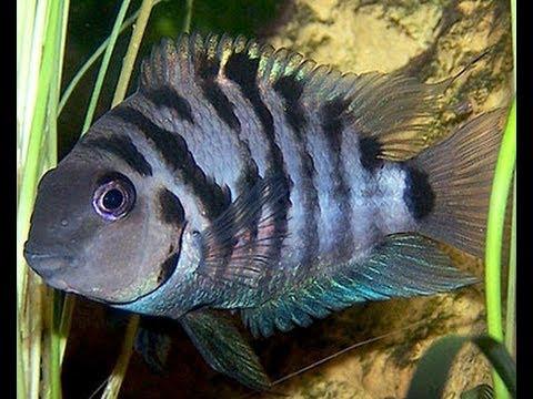 Unexpectedness! black and white striped oscar fish you
