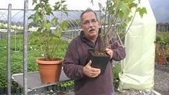 Wie pflanzt man eine schwarze Johannisbeere