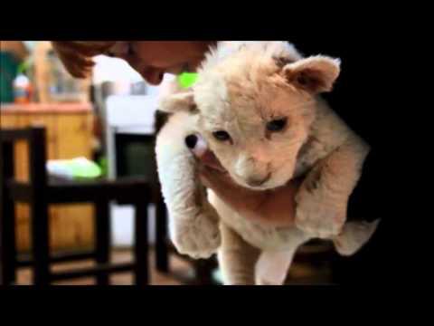 თეთრი ლომის ბოკვერის ხმა/ White lion cub's first roar