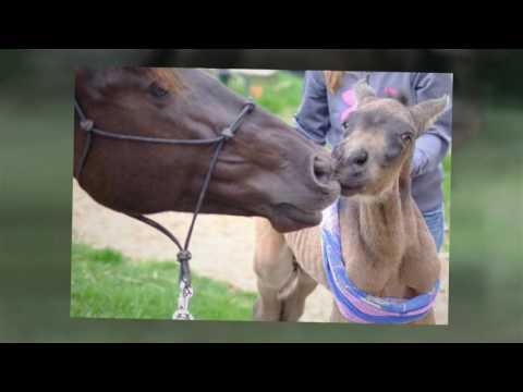 SPANISH HORSES FOR SALE - BUCKSKIN PRE ANDALUSIAN 2016 COLT