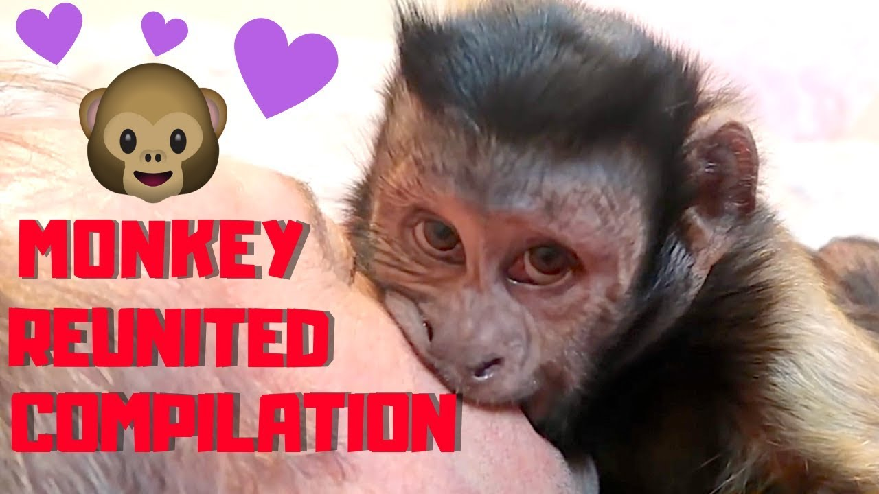 capuchin-monkey-excited-to-see-family-compilation