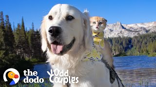 Service Dog Wasn't Playful — Until He Met His Kitten Sister | The Dodo Odd Couples
