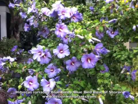 rose of sharon shrubs funnycat tv. Black Bedroom Furniture Sets. Home Design Ideas