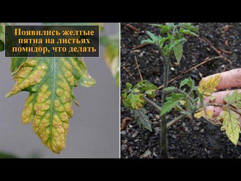 Вопрос: Почему обычные красные помидоры зреют в жёлтых пятнах?