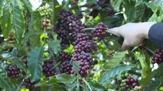 Tin Tức 24h: Thời kỳ phát triển mới của ngành cà phê Việt Nam