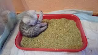 Котята 1 мес 10 дней .Кот и Кошка .Лоток .