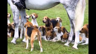The American Foxhound is taller and rangier when compared to its co...