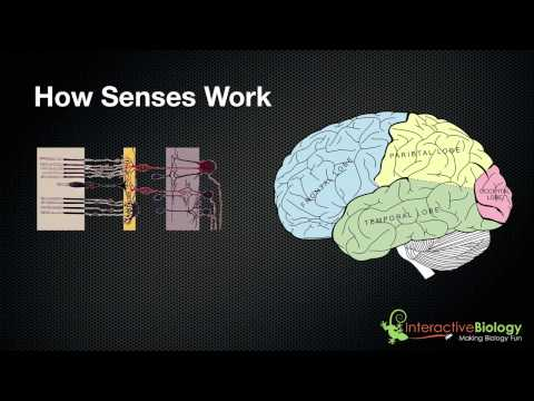 029 A General Overview of How Senses Work