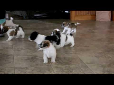 Bichon Frise Mix Puppies For Sale