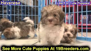 Havanese, Puppies, For, Sale, In, Baltimore, Maryland, Md, Fort Washington, South Laurel, Reistersto