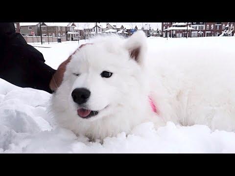 썰매견 사모예드를 눈밭에 풀어주었습니다