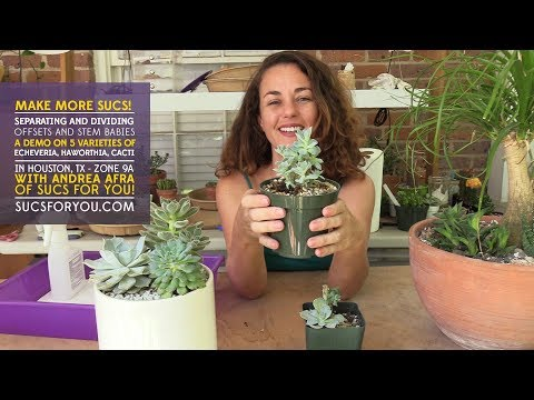 Succulent Demo: Separate and divide succulent offsets and stem babies