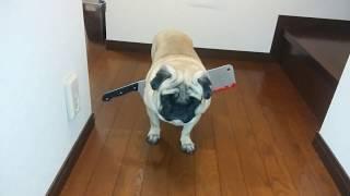 パグ犬ムゥに,ダイソーで買ったハロウィングッズの,なたを付けてみまし...