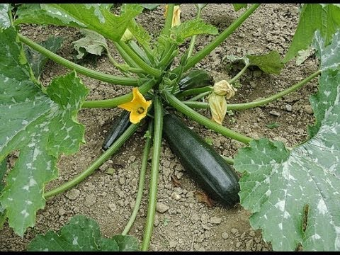 semer des courgettes - youtube
