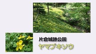 片倉城跡公園のヤマブキソウ