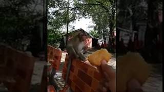 So funny monkey!  He eat breads from people give him.