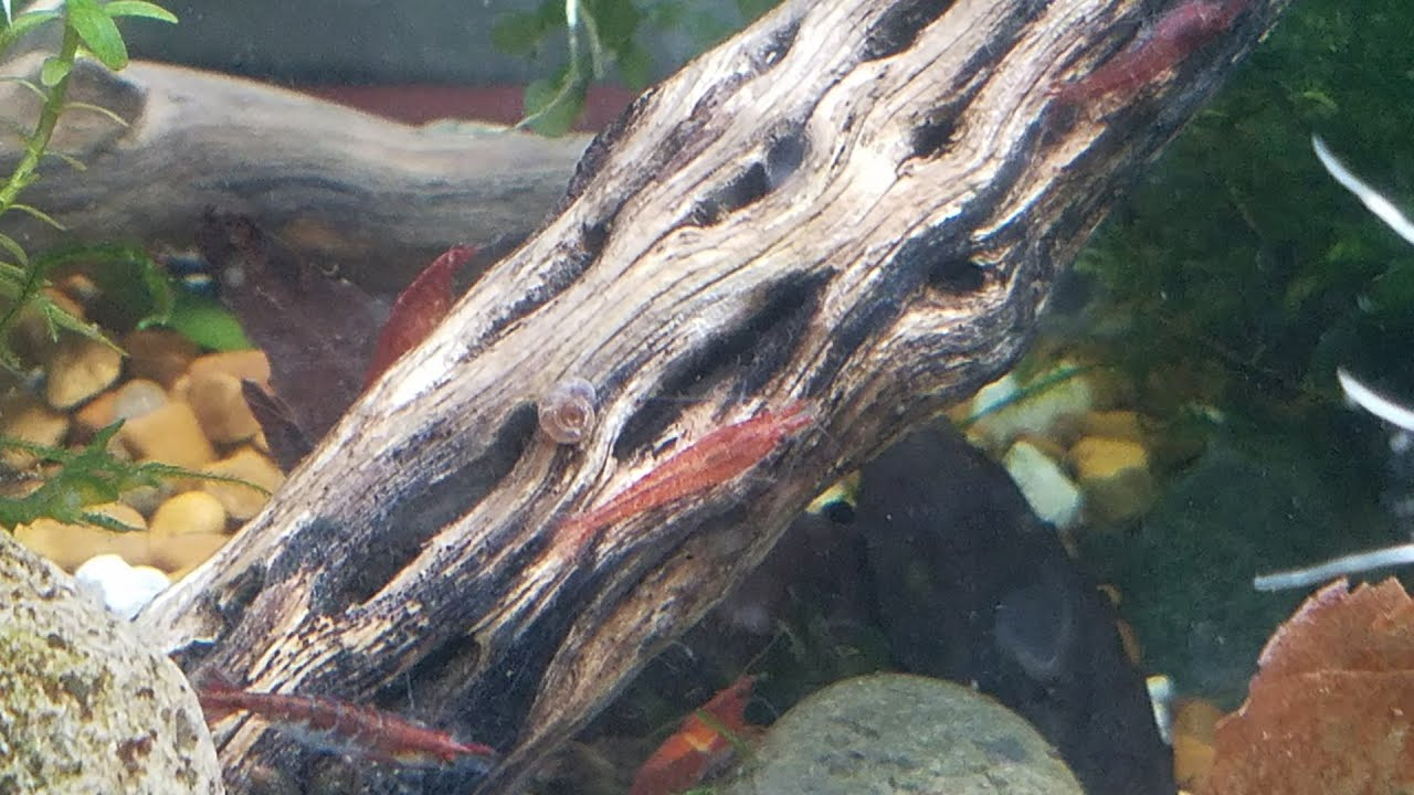 1 Day Old Baby Cherry Shrimp, Albino Ram's Horn Snails Finally Mating & A  Tank Update