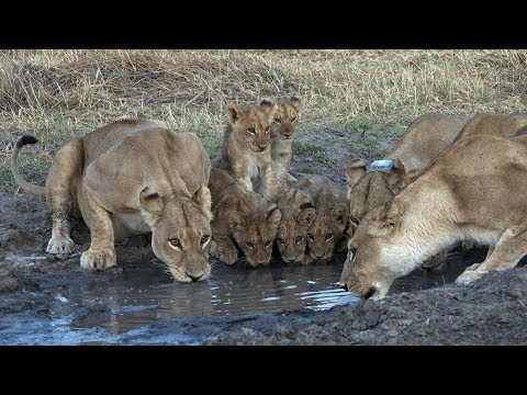 The Lions of Moremi