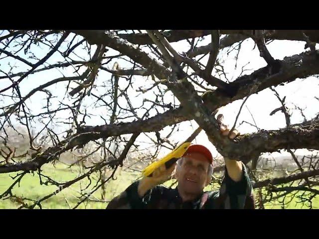 Яблоня: обрезаем старое запущенное дерево. Обрезка плодовых деревьев от Рабушко - Восстановили звук