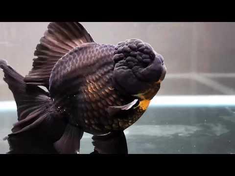 High Quality Goldfish 👑 Oranda & Ranchu