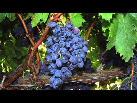 Developing seedless grapes