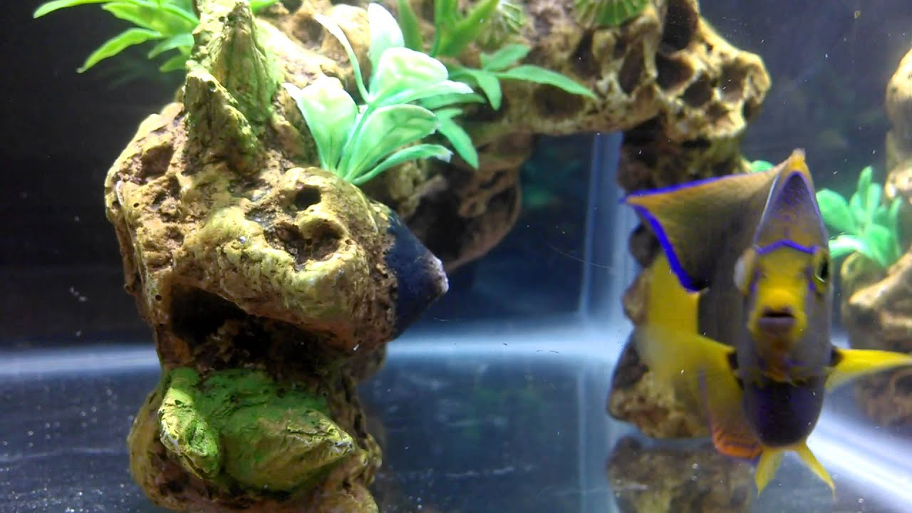 Freshwater fish cloudy eyes - Passer Angelfish With Cloudy Eye