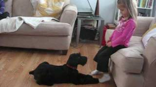 """Giant Schnauzer Puppy 12 Weeks Doing """"roll Over"""" Trick For My 7 And 4 Year Old"""