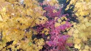 Greenville, California, Plumas County, USA! Fall Color 2013