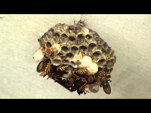 3 Hours on the Paper Wasp Nest - Timelapse Video