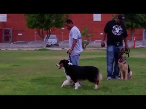 Wolfgang Australian Shepherd  Inn Kennel Training Obedience