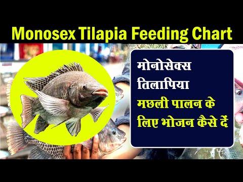 Monosex Tilapia Fish Farming   Monosex Fish Feeding   मोनोसैक्स तिलपिया  पालन   Monosex Tilapia