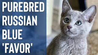 Picking Up 'Favor' From The Airport! | Purebred Russian Blue Kitten