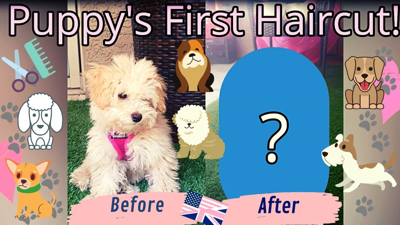 My Toy Poodle's First Haircut: Before And After Reveal!