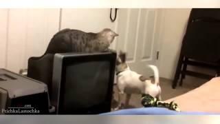 Приколы с животными. Кошки против собак. Приколы с кошками