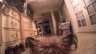 "Gopro Hero 4 Black - ""fetch"" Harness On 10lbs Yorkie Terrier"