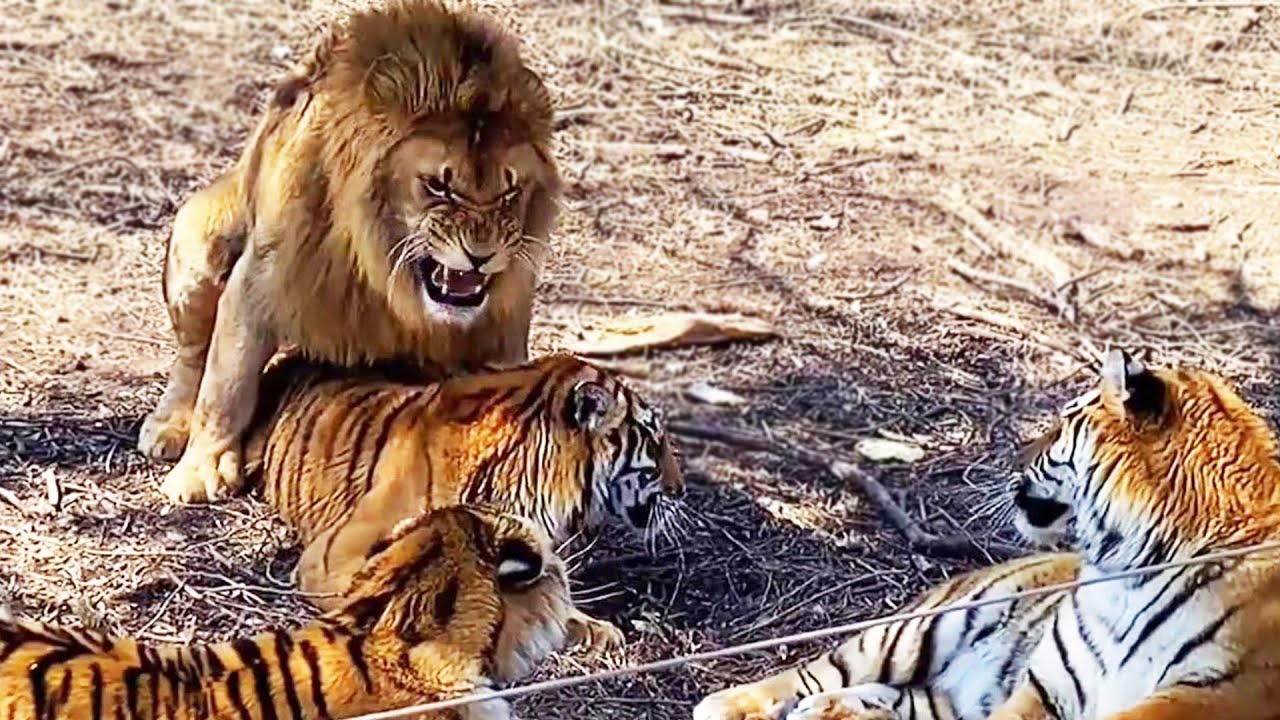 The love crystallization of lion and tiger, liger like  lion or tiger?