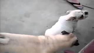 Bulldog Lovers Pug Vs English Bulldog