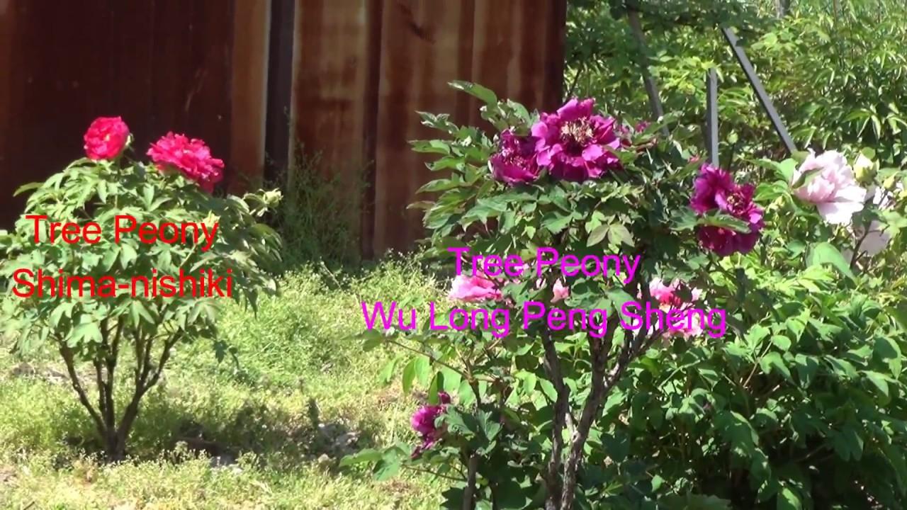 Peony Garden 4-20-2017 Tree Peonies - YouTube